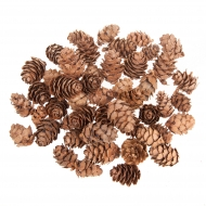 Larch Tree Pine cones 10-20 mm
